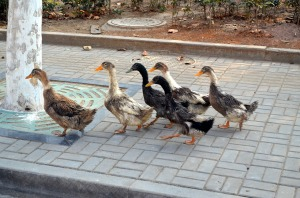 duck-21262_1280
