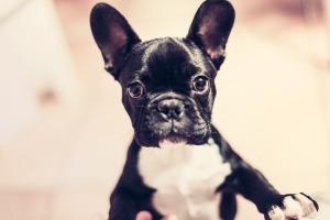 Boston Terrier Puppy Picture